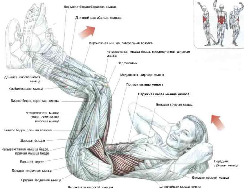 мышцы в области пресса