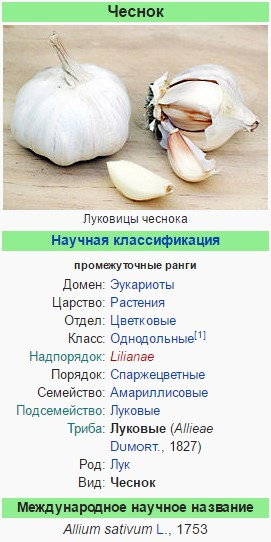 Чеснок - википедия