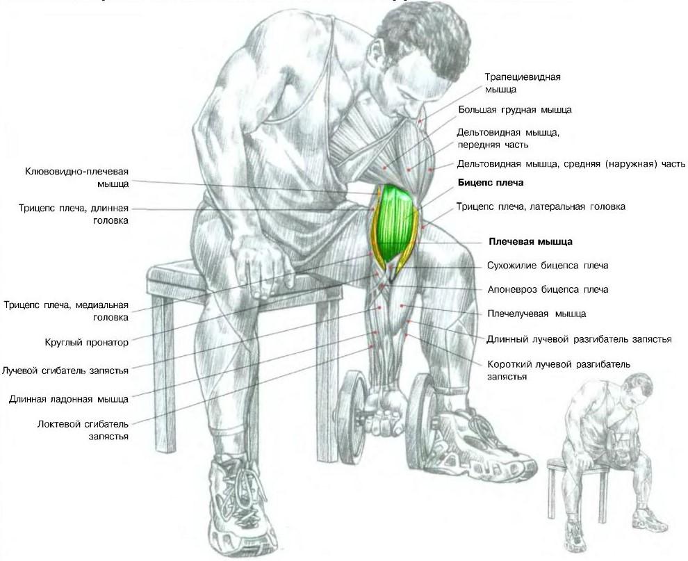подъемы на бицепс работающие мышцы