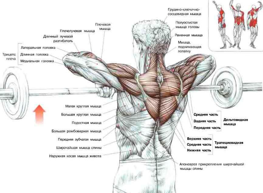 Анатомические устройство мышц спины