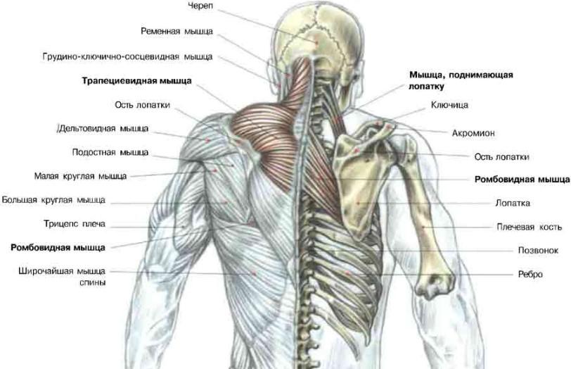 анатомия спини