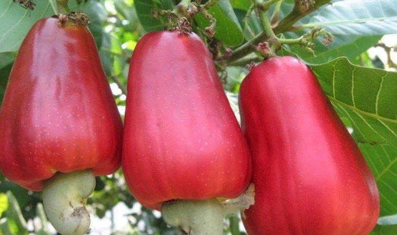 Кешю - как растёт орех