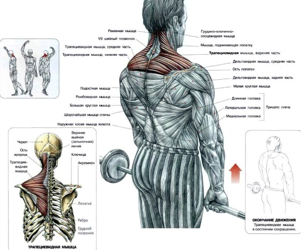 Шраги со штангой - мышцы